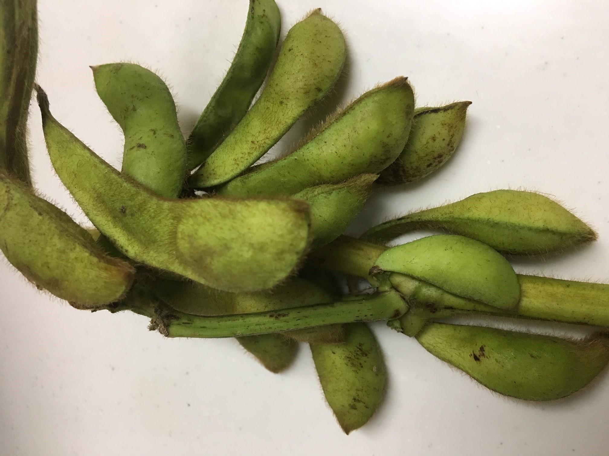 枝付き黒豆の甘い枝豆